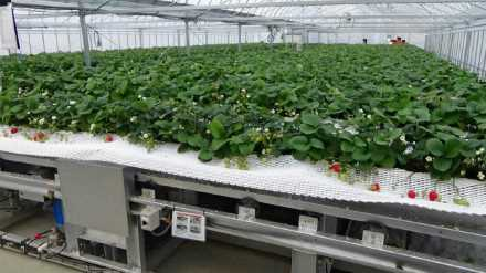 イチゴの自動栽培システム
