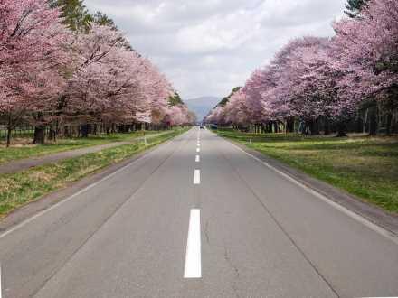 道南【二十間道路桜並木】