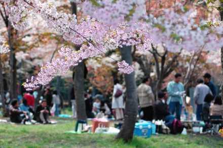 道央【円山公園】桜
