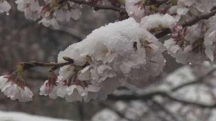 群馬県の富岡製糸場、満開の桜に雪が降る